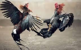 Fakta Dalam Permainan Judi Sabung Ayam